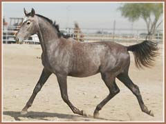 Bombay by Grand Prix Dressage sire Leonidas *Pg*