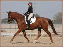 Madira, Trakehner filly by Heling