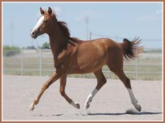 Paladin, Trakehner gelding by Aul Magic