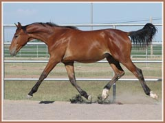 Vigo showing off his expressive trot, May 2008, 13 months